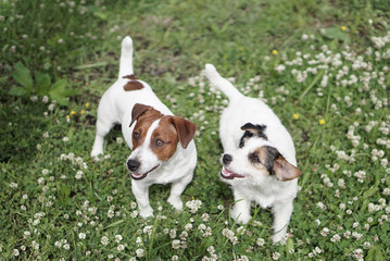 Two happy jack russell dogs outdoors