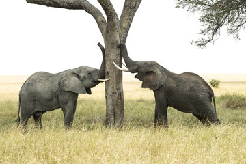 Young bull African Elephants (Loxodonta africana) rub trunks and tusks against tree, Serengeti National Park; Tanzania