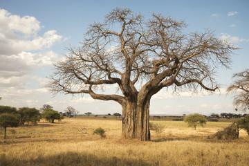 Leafless baobab tree during dry season, Tarangire National Park; Tanzania
