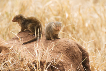 Pair of Dwarf Mongoose (Helogale parvula) on termite mound, Tarangire National Park; Tanzania