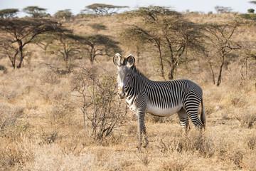 Grevy's Zebra (Equus grevyi) standing in dry season savannah, Samburu National Reserve; Kenya