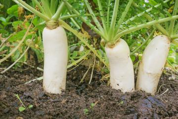 Daikon radish in the garden