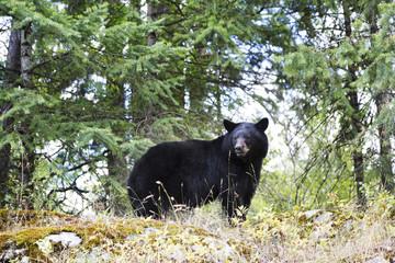 A black bear (Ursus Americanus) in the trees; Salmon Arm, British Columbia, Canada