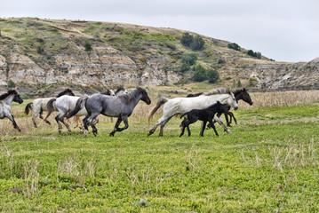 Wild horses, Theodore Roosevelt National Park; North Dakota, United States of America