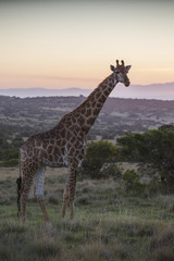 Giraffe walking at sunset; South Africa