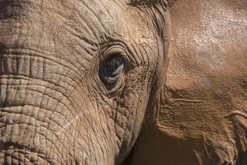 Close up of African elephant in Addo Elephant National Park; South Africa