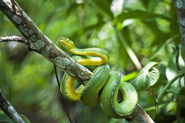 Green tree snake (Dendrelaphis punctulata); Madang Province, Papua New Guinea
