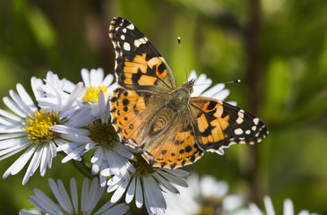 A Painted Lady (Cynthia) butterfly searches for nectar in aster blossoms; Astoria, Oregon, United States of America