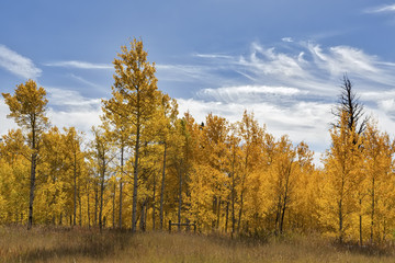 A stand of Aspen and Cottonwood trees I photographed North of West Yellowstone Montana near the Madison River.