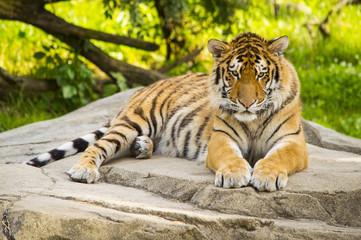 Tiger Resting 3