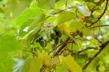 Hardy Kiwi Actinidia arguta