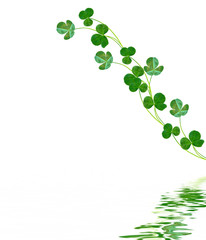 green clover leaves isolated on white background
