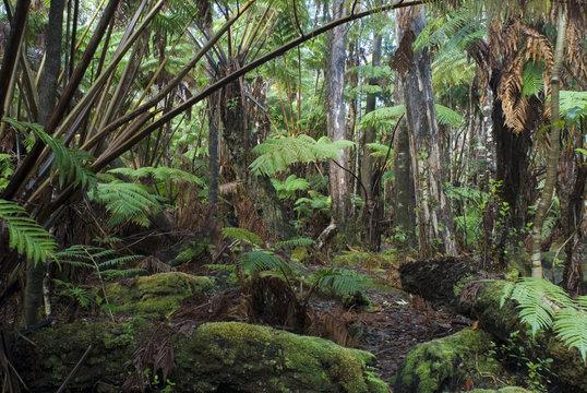 hawaiian rainforest plants