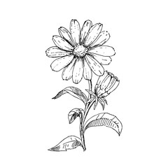 hand drawn ink calendula on white background. sketch. medicinal herb. vector eps 8.