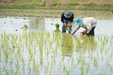 Asian farmers planting rice by transplanting rice in Thailand ,A