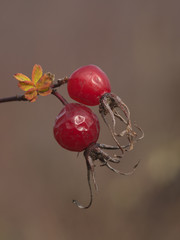 Two berries of a dogrose