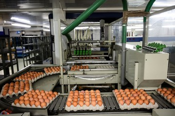 Cartons of eggs moving on the production line
