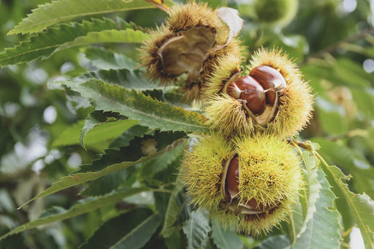 Sweet chestnuts in their burr to fall