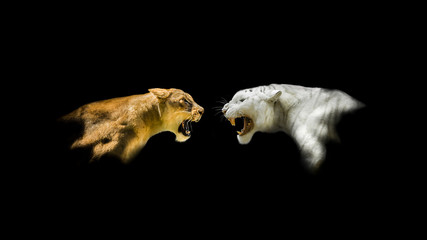 Isolated Lion and White Tiger Roaring