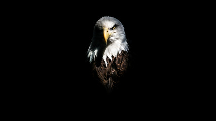Wall Murals Eagle Isolated Intense Eagle Stare
