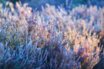 Heather plants at the sunrise covered in rime