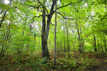Early Autumn deciduous forest in Latvia.