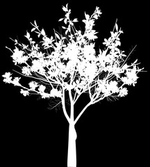 small white blossoming tree with large flowers isolated on black