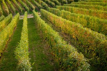 Langhe vitigni paesaggio collinare. Vigneti Langhe e Roero Piemonte Italy