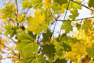 Кленовые листья на фоне голубого неба