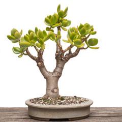 Pfennigbaum (Crassula ovata) als Bonsai Baum