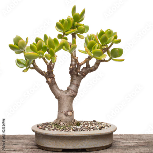 pfennigbaum crassula ovata als bonsai baum stock photo and royalty free images on fotolia. Black Bedroom Furniture Sets. Home Design Ideas