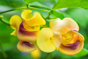 macro detail of yellow tropical orchid