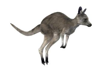 3D Rendering Kangaroo on White