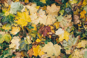 beautiful yellow and red maple leaves lay fallen on the ground in the park