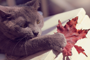 autumn sports games/ paw mustachioed cat catches a maple leaf