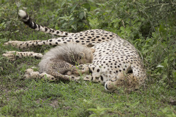 Adult Cheetah with Cub in Tanzania Africa