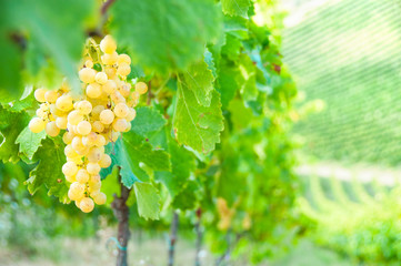 White grapes on vine