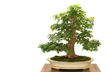 Feldahorn (Acer campestre) als Bonsai Baum