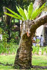 Asplenium nidus on tree