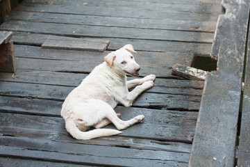 white dog (thai dog) on old wood bridge