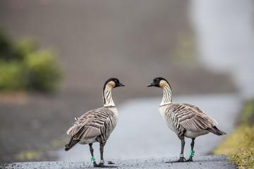 Nene die Hawaiigans, Hawaiis Staatsvogel