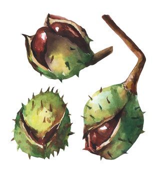 Set chestnut with crust. Hand drawn watercolor painting on white background.