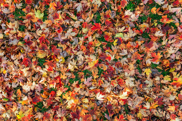 Colorful fall leafs on green grass background