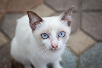 Portrait of a white cat with blue eyes close up.