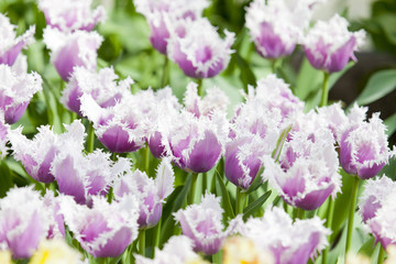 Flower bed of purple tulips