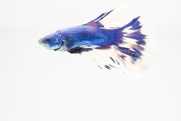 Beautiful blue fighting fish close up.