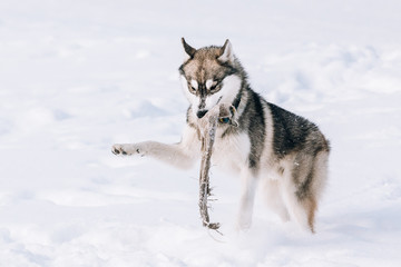 Young Husky Dog Play Outdoor In Snow, Winter