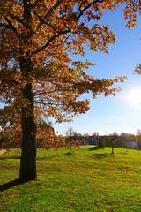 Red oak tree in autumn sunlight