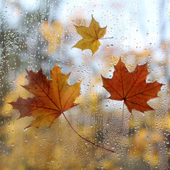 autumn weather arrived/ three maple leaf on the surface of the window with rain drops