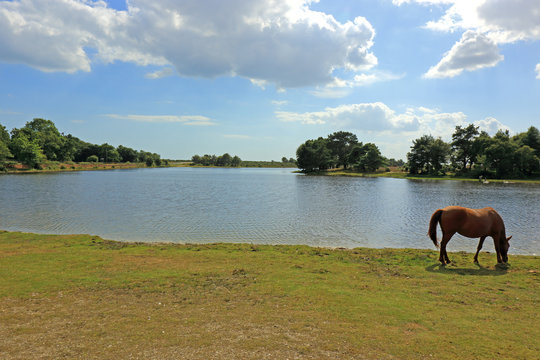 A pony grazing by the waters edge at Hatchet Pond in the New Forest